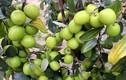 Thăm vườn táo Bàng La hốt trăm triệu dễ ợt ở Hải Phòng