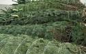 Cây thông Noel 5 mét nguyên gốc từ Đan Mạch về Việt Nam