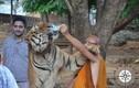 """Sốc với lí do hổ dữ """"hiền như cún"""" ở chùa Thái Lan"""