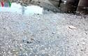 Cá chết nổi trắng kênh Đa Cô ở Đà Nẵng