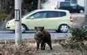 Đàn lợn rừng mang lượng phóng xạ gấp 300 lần ở Nhật