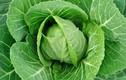 Bài thuốc chữa bệnh gout khỏi hẳn với lá bắp cải