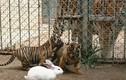 Lạ lùng con thỏ thu phục được cả hổ, báo