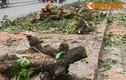 Nhiều cây cổ thụ ở HN bị chặt ĐV quản lý không biết?