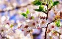 Ngẩn ngơ ngắm hoa anh đào Nhật Bản mong manh cuối mùa