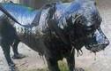 Xúc động chú chó hóa đá vì nhựa đen bao phủ khắp cơ thể