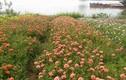 Ngỡ ngàng cánh đồng hoa mười giờ nhiều màu lạ đẹp nao lòng