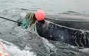 Cá voi giết chết ân nhân sau khi được cứu