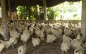 """Trang trại 40.000 con xương đen và thương hiệu Toàn """"gà ác"""""""