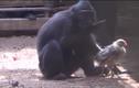 Lạ: Khỉ đen nhận nuôi gà con như con đẻ