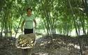 Phát hờn chuyện trồng tre lục trúc cho thu nhập 70 triệu đồng/tháng