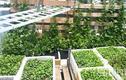 Sân thượng 8m2 phủ xanh đủ loại rau của mẹ 9X tại Vũng Tàu