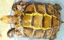 Cặp rùa vàng quý hiếm: Ngã giá 800 trăm triệu bán liền tay