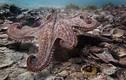 """Phát hiện các """"khu đô thị"""" của bạch tuộc dưới đại dương"""