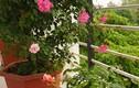 Ban công nhỏ xinh thơm ngát hoa hồng của của ông bố đảm Yên Bái