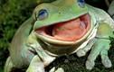 """Rắn kịch độc """"gào khóc"""" trong miệng ếch xanh gây tranh cãi"""