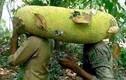 Cận cảnh nhiều loại quả khổng lồ xuất hiện ở Việt Nam
