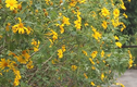 Video: Đổ xô lên Vườn Quốc gia Ba Vì chụp hoa dã quỳ bung nở vàng rực
