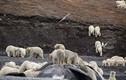 Băng đảng 200 con gấu Bắc Cực đi mở tiệc đánh chén cá voi