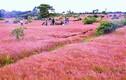 """Video: Thung lũng cỏ hồng mộng mơ ở Gia Lai """"hớp hồn"""" giới trẻ"""