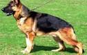 Hình ảnh những giống chó đắt nhất thế giới