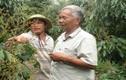 Nhãn Ido đặc biệt cỡ nào mà nông dân thu 2 tỷ/năm?