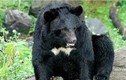 Gấu cắn lìa tay bé trai: Chính quyền để mặc đại gia nuôi thú dữ?