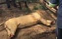 """Ba con sư tử bị chặt đầu làm """"thuốc phù thủy"""" ở Nam Phi"""