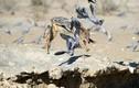 Chó rừng hùng hục săn mồi bồ câu và cái kết