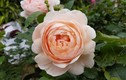 Ghé thăm vườn hồng không mất phí và đẹp hơn lễ hội hoa hồng