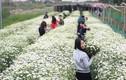 Mùa cúc họa mi: Chị em phát cuồng, dân Nhật Tân mừng thầm