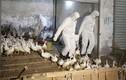 Chùm ảnh đại dịch cúm gia cầm hoành hành ở Trung Quốc