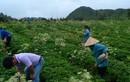 90% dược liệu nhập từ Trung Quốc: Khó phân biệt với... rác