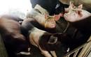 Lợn nuôi bằng trà xanh: Mỹ chào thua, Nhật phát thèm