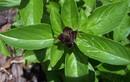 13 loại thảo dược cực độc với bà bầu