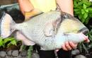 Khám phá bất ngờ về cá bò giáp có ở Nha Trang