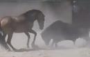 """Ngựa mảnh mai đuổi bò tót cả tấn chạy """"mất dép"""""""