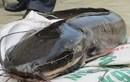 """Bà nội trợ phải """"chết khiếp"""" với loại cá trê phi 10kg/con"""