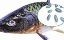 Video: Cảnh báo bộ phận trên cá không thể ăn được