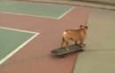 Kỳ lạ lớp học trượt ván dành cho các chú chó