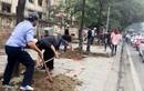 Hà Nội lại thay loạt cây mỡ mới trồng đã chết khô