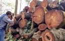 Hà Nội bán gỗ vụ chặt cây xanh được hơn 1 tỷ đồng