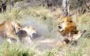 """Bỏ nhà đi bụi, sư tử đực quay về bị vợ """"đánh túi bụi"""""""