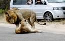 """""""Đỏ mặt"""" vợ chồng sư tử ái ân ngay giữa đường cái"""