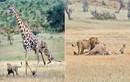 Hươu cao cổ chết thảm khi đối đầu anh em sư tử