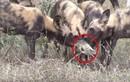 Cực hiếm cảnh chó hoang châu Phi chơi đùa với con mồi