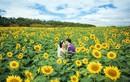 Điều cần biết đi du lịch mùa hoa hướng dương Đà Lạt
