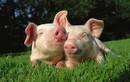 """Doanh nhân Randy Spronk: """"Tiềm năng tiêu thụ thịt lợn ở TQ khá lớn"""""""