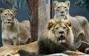 Kịch tính 3 sư tử châu Phi cứu gái trẻ khỏi bị hãm hiếp