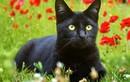 Những giai thoại khó tin về mèo đen trong lịch sử